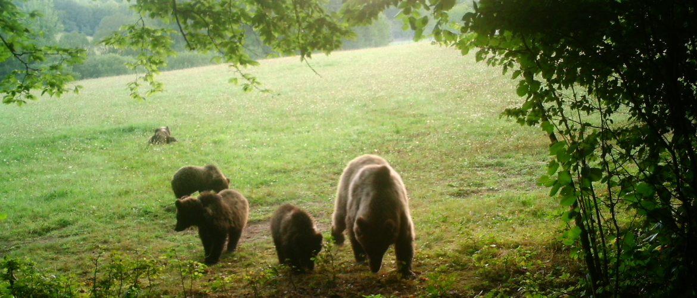 Stavy medveďov v CHPO Poľana a priľahlých poľovných revíroch